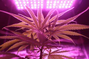 Legalizzazione Cannabis Italia