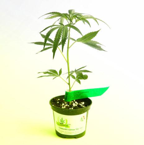 Il Germoglio – CITRUS ROYAL CBD Talea di Cannabis Sativa Femminizzata