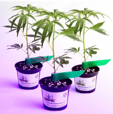 Il Germoglio – PURPLE PINE CBD 3Pack Talee di Cannabis Sativa Femminizzate