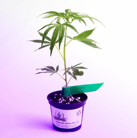 Il Germoglio – PURPLE PINE CBD Talea di Cannabis Sativa Femminizzata