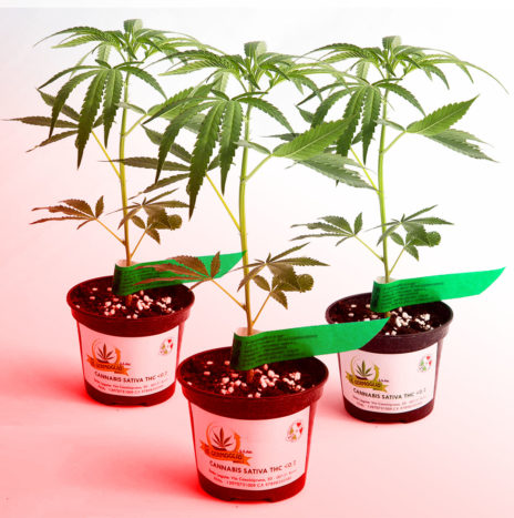 Il Germoglio – RED PASSION CBD 3Pack Talee di Cannabis Sativa Femminizzate