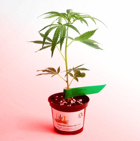 Il Germoglio – RED PASSION CBD Talea di Cannabis Sativa Femminizzata