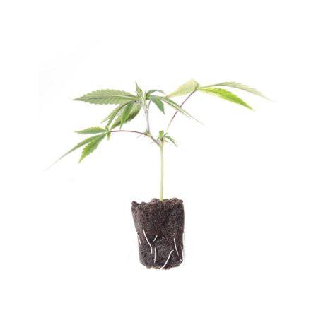 Il Germoglio – Talea di Cannabis Sativa Femminizzata Varietà Fibranova