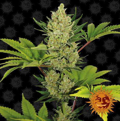 Barney's Farm BLUE CHEESE AUTO Semi di Cannabis Autofiorenti