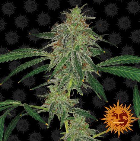 Barney's Farm BLUE MAMMOTH AUTO Semi di Cannabis Autofiorenti
