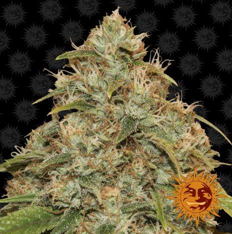 Barney's Farm CBD LEMON POTION AUTO Semi di Cannabis Autofiorenti
