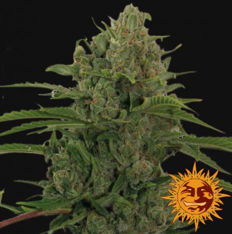 Barney's Farm CRITICAL KUSH AUTO Semi di Cannabis Autofiorenti