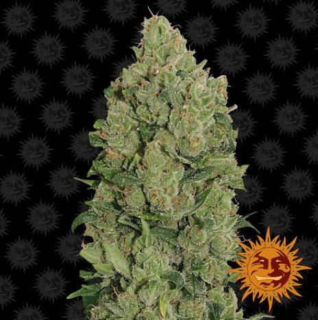 Barney's Farm NYC DIESEL AUTO Semi di Cannabis Autofiorenti