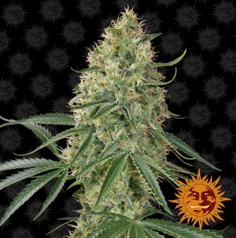 Barney's Farm SIN TRA BAJO AUTO Semi di Cannabis Autofiorenti
