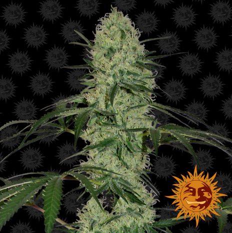 Barney's Farm TANGERINE DREAM AUTO Semi di Cannabis Autofiorenti